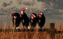 Four Turkey Vultures, A Band O...