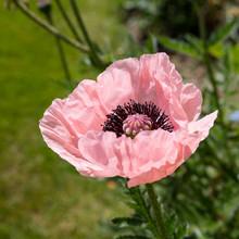 A Perennial Pink Poppy Flower In A Garden.
