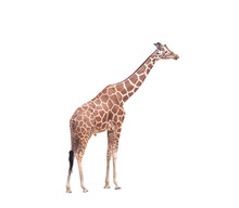 Big Giraffe Standing Isolated On White Background With Clipping Path