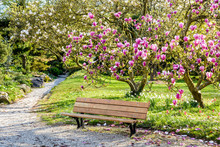 A Wooden Bench Under A Blossoming Magnolia Tree In A Public Garden At The End Of A Sunny Spring Day.