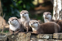 Four Oriental Small-clawed Otters