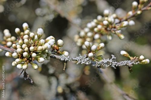 Fotografia  Knospender Zweig der Schlehe (Prunus spinosa) mit Flechten