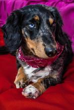 Portrait Of A Dapple Dog Dachs...