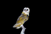 Common Barn Owl ( Tyto Alba ) ...