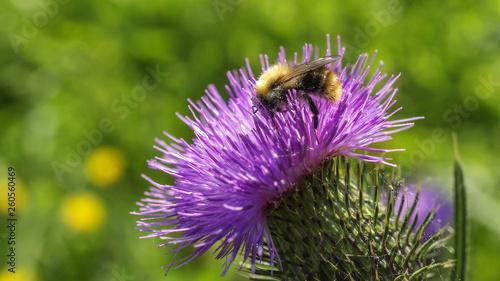 Fototapeta Bee on the flower obraz