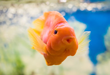 Red Parrot Cichlid In The Water In An Aquarium