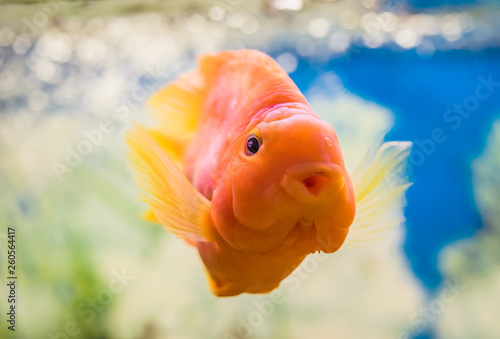 Autocollant pour porte Perroquets Red Parrot Cichlid in the water in an aquarium