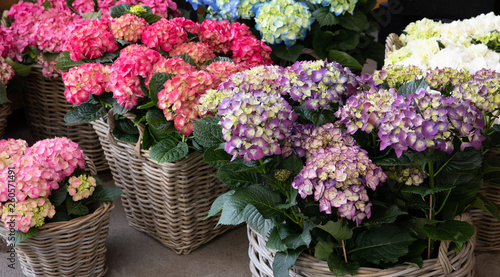 Montage in der Fensternische Hortensie Variety of hydrangea macrophylla flowers in violet, pink, white colors in the garden shop.
