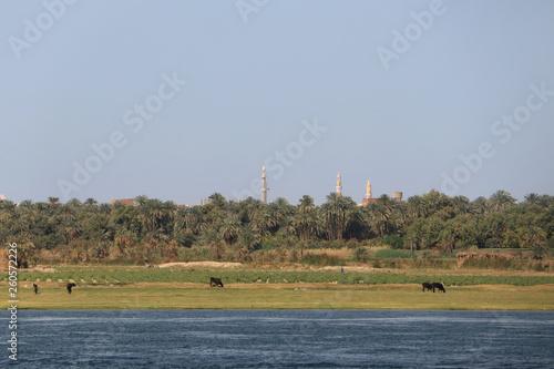 Fotografia  Kühe auf einer Feuchtwiese am Nil in Ägypten mit Palmen und Minarett im Hintergr
