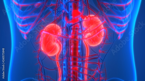 Human Urinary System Kidneys with Circulatory System Anatomy