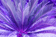 canvas print picture - Exotic plant palm leaves close up in duo purple blue gradient tone in vibrant trendy colors. Concept fashion art. Minimal surrealism. Tropical succulent.Floral design.