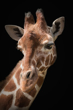 Portrait Of A Giraffe On A Bla...