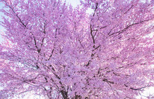 Beautiful Flowering Peach Tree, The Texture Of Flowers Peach