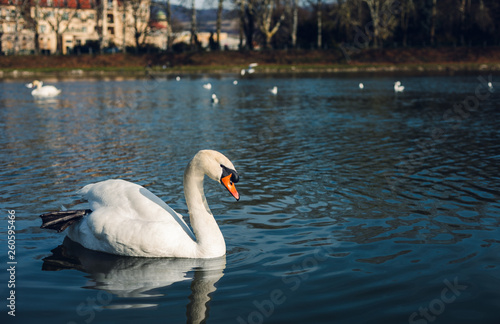 Fotografia  Image - Swans on the river with reflection in water and hotel on background in Piešťany city