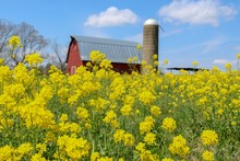 Idyllic View Of Red Barn And Silo In Field Of Yellow Flowers, Selective Focus