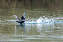 Coots (fulica Atra) Showing Aggressive Fighting Territorial Behaviour In Early Spring