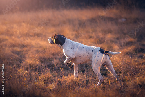 Photographie german shorthaired pointer hunting