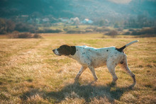 German Shorthaired Pointer Hunting