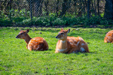 West African Sitatunga Resting On The Ground