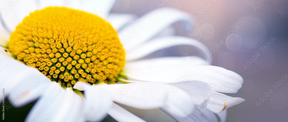 Fototapety, obrazy: The beautiful daisy isolated on a blur colorful background.