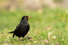 A Male Blackbird Looking For Food On The Ground