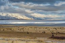 Cattle Grazing In The Oregon Desert Winter
