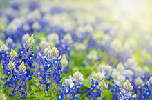 Texas Bluebonnets (Lupinus Texensis) Blooming In Springtime