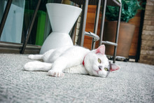 White And Grey Cat