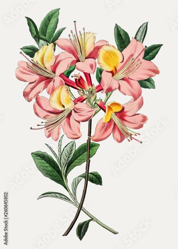 Photo Pink azalea flower