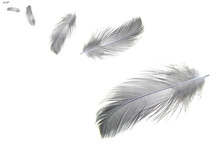 Gray Feather Isolated On White Background