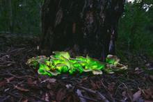 Bioluminescent Ghost Mushroom(Omphalotus Nidiformis)South West Sydney Australia.