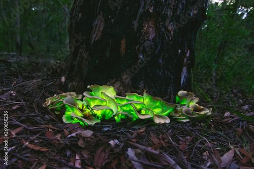 Photo bioluminescent Ghost mushroom(Omphalotus nidiformis)South west Sydney Australia