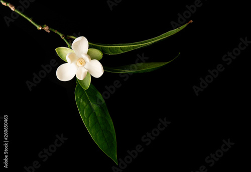 White Magnolia Flower And Green Leaf On Isolated Black Background