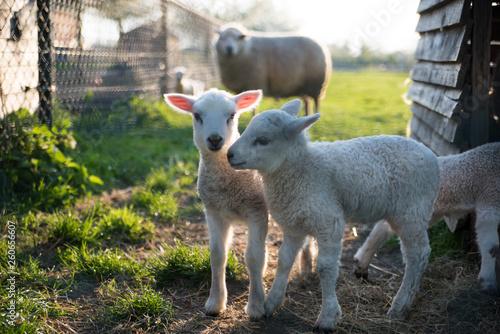 Canvas Print lamb in field