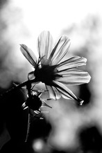 Coreopsis Flower Close Up Blac...