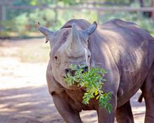 A Black Rhinoceros Chewing A Green Bush