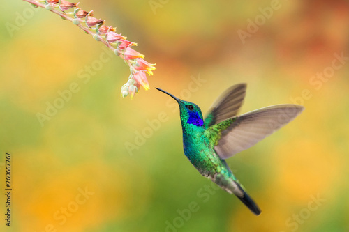 Ingelijste posters Vogel Green violetear, Colibri thalassinus, hovering next to red flower in garden, bird from mountain tropical forest, Peru, natural habitat, beautiful hummingbird, colourful and clear background
