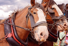 Draft Horses In A Street Parade