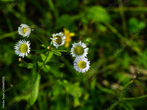 Photo  Eastern daisy fleabane or Erigeron annuus flowers macro with bokeh background, s