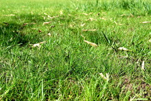 Simplistic Surface Texture Of Fine, Thin Green Grass And Fallen Dry Leaves.