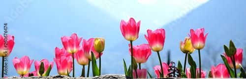 Photo  Wunderschöne Tulpen in Pink vor unscharfen Hintergrund