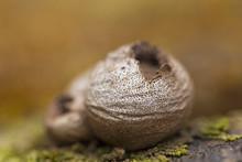 Lycoperdon Pyriforme Mushrooms. Lycoperdon Pyriforme Mushrooms Close-up In The Carpathian Forest. Lycoperdon Pyriforme, Commonly Known As The Pear-shaped Puffball Or Stump Puffball