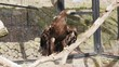 steppe eagle, Aquila nipalensis, in zoo, stretching wings, angry