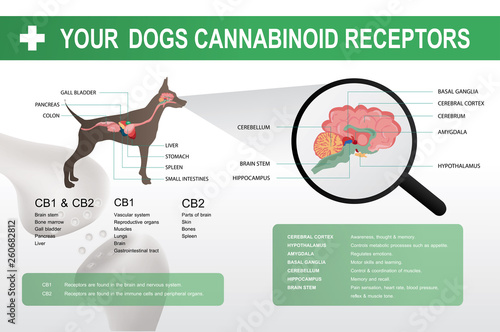 Fotografie, Obraz  cannabinoid cb1 & cb2 receptor in the dog brain,vector infographic on white background and poster