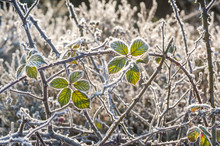 Frosted Winter Thorn Bush