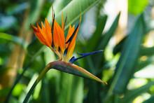 Strelitzia Reginae Orange Trop...