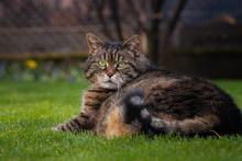 Plump Tabby Cat Lying In The Grass