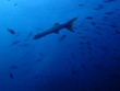 インド洋を泳ぐバラクーダ