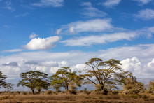 Fever Tree Landscape In Lake Nakuru
