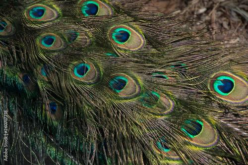 Macro de plumas del  pavo real común o Pavo cristatus Fototapet